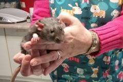 szczurek po kastracji